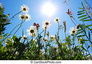 azul, verano, flor, cielo, margarita