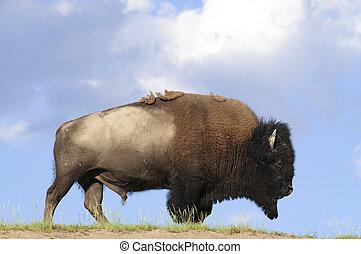búfalos iconicos