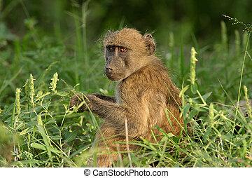 babuino de chacma