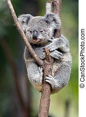 Baby cubo koala - Joey