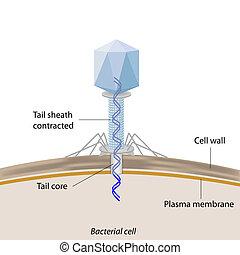 Bacteriofage infectando bacterias