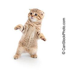 bailando, casta, aislado, pliegue, puro, escocés, gatito, rayado