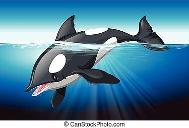 Ballena asesina nadando en el océano