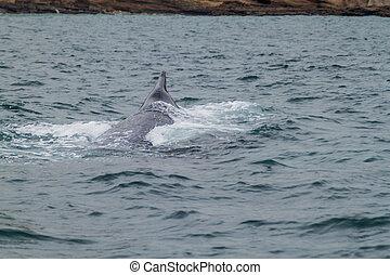 ballena del humpback