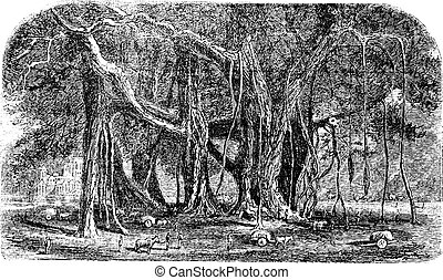 Banyan o Ficus benghalensis, grabado añejo.