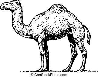 barco, desierto, camello