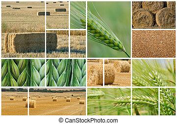 Barley y trigo.
