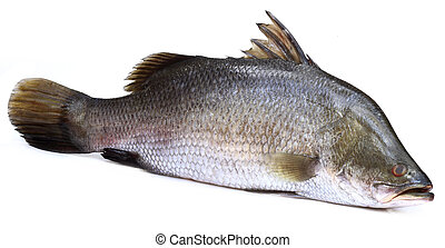 Barramundi o pez koral del sudeste de Asia