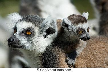 bebé, lémur, llame tailed