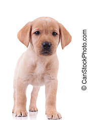 bebé, labrador, adorable, plano de fondo, blanco, perro cobrador