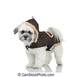 Bichon havanese cachorro