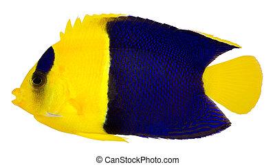 bicolor), querubín, angelfish, (centropyge, bicolor