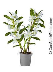 blanco, dendrobium, aislado, orquídea, nibile