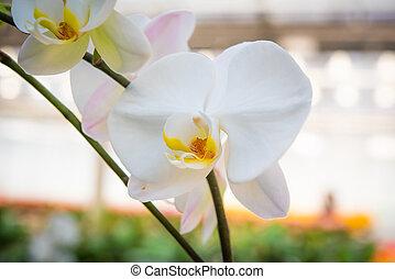 blanco, jardín, orquídea