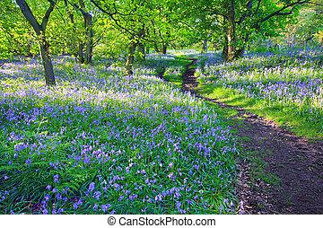 Bluebells bosque en primavera, UK