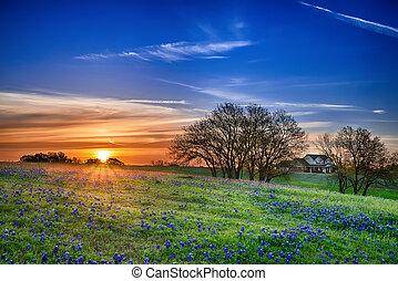bluebonnet, campo, tejas, salida del sol
