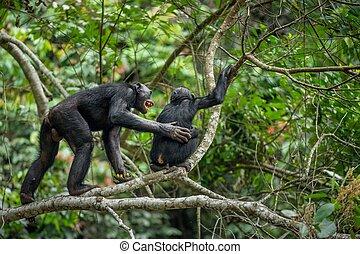 Bonobos en una rama de árbol en la selva. República Democrática del Congo. África
