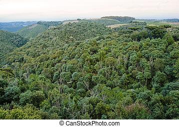 Bosque araucaria