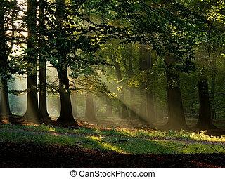 Bosque de Beech con niebla y sol cálido en otoño, otoño