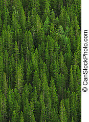 Bosque de pino