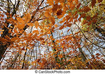 Bosque de robles en otoño
