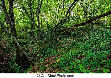 bosque, exuberante, templado