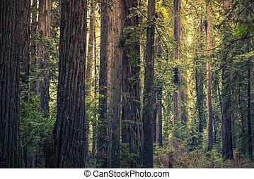 Bosque misterioso de Redwood