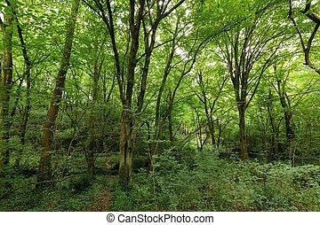 Bosque templado de Hornbeam