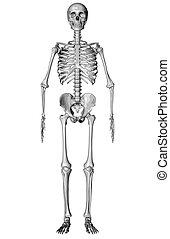 bosquejo, -, esqueleto