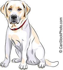 bosquejo, labrador, sentado, casta, perro, amarillo, vector, perro cobrador