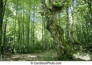 Bosques mágicos de Beech