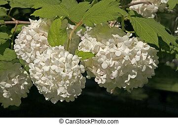 brillante, viburnum, hojas, flores, boule, contra, de, plano de fondo, verde, neige, parque, blanco, ciudad, primer plano