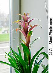bromelia, colorido, flor, ventana, hogar, sill., florecer, jardinería