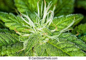 brotes, fresco, planta, primer plano, marijuana