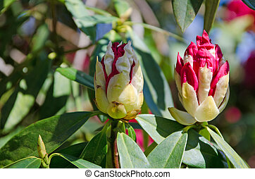 brotes, rododendro