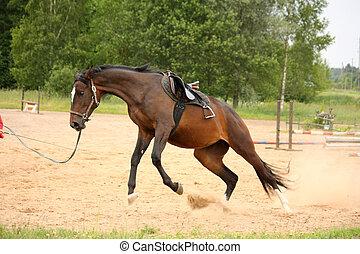 Brown juguetón caballo de raza letona y tratando de deshacerse