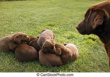 Brown Labrador Retriever cachorros de perro