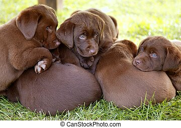 Brown Labrador Retriever perro camada de cachorros
