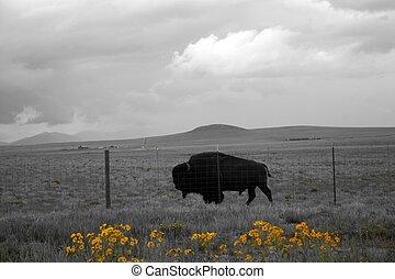 Buffalo detrás de la cerca