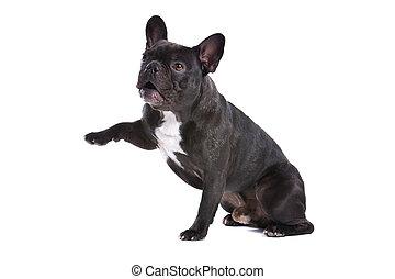 Bulldog francés (frenchie)