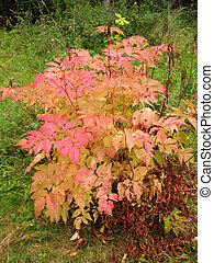Bush aruncus dioicus en otoño