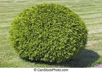Bush de cipress, cortado en forma de esfera