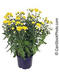 Bush de crisantemos amarillos