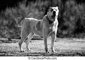 Bw alabai fondo de perro