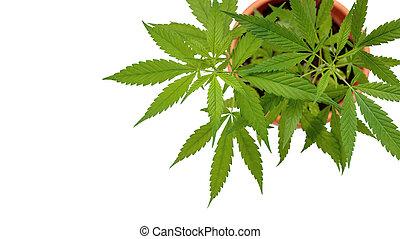 cáñamo, blanco, planta, medicinal, cannabis, olla, aislado, fondo.