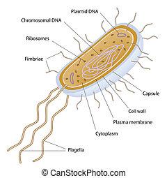 célula, bacteriano, estructura