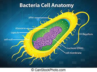 célula, bacterias, estructura