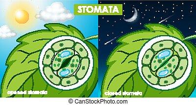 célula, diagrama, planta, actuación