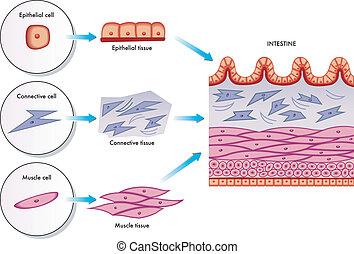 Células de pared intestinales