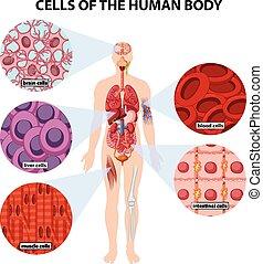 Células del cuerpo humano